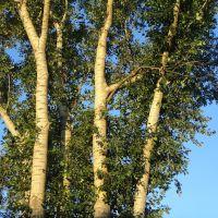Деревья, Сасово