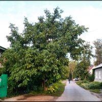 Жигулёвский грецкий орех, Жигулевск
