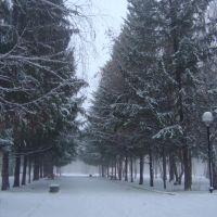 Голубые ели в парке, Отрадный