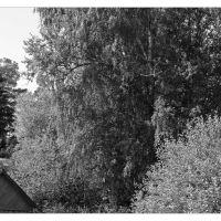 Старая береза на берегу р.Оредеж, Вырица