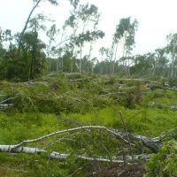 Ураган 2007 (березовая роща 3), Дубровка
