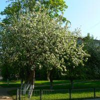 Яблоня в цвету, Ломоносов