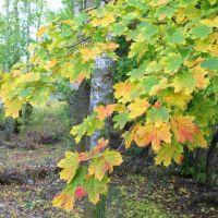Золотая осень, Возрождение