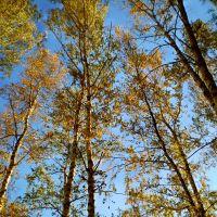 Березки... / Birches..., Самойловка
