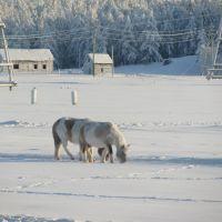 Настоящие якутские лошади, Верхневилюйск