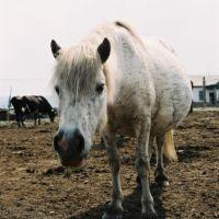Horse, Верхоянск