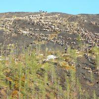 Северные олени в горах, Хонуу