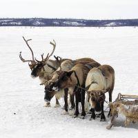 Deers, Надым
