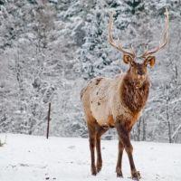Visim, deer, -25°C, Висим