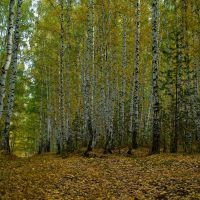 Березовый лес на правом берегу Каменки II, Каменск-Уральский