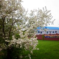 "Blossoming apple-tree, near Open Company ""Stella-market"", Североуральск"