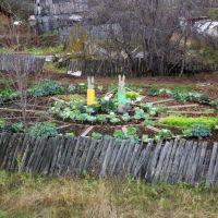 Капуста в огороде, Североуральск