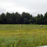 Аисты  Storks, Голынки