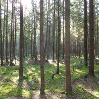 хвойный лес у с. Ворга, Ершичи