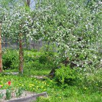 Яблони в цвету, Новодугино