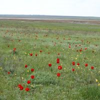 Wild tulips in steppe, Арзгир