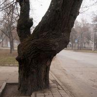 Дерево на остановке около стадиона, Георгиевск