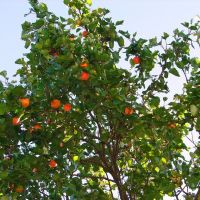 абрикосовое дерево, Карачаевск