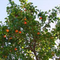 абрикосовое дерево, Теберда