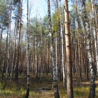 Birch tress in the forest, Рассказово