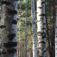 Birch trunks texture, Рассказово