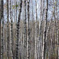 Infinite Birches, Рассказово