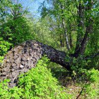 Дерево у земли, Бавлы