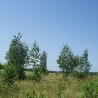 Молодые берёзки///young birch trees, Васильево