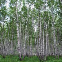 Кожевниковский березовый парк, Кожевниково