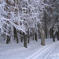 The Pine forest, Мельниково