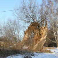 Причудливое дерево., Велегож