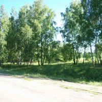 Берёзы на въезде в Суворов, Суворов