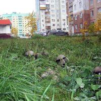 Городские грибы, Ноябрьск