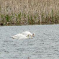 Swan, Сюмси