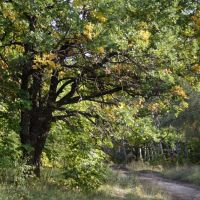 Oak near country road, Старая Кулатка