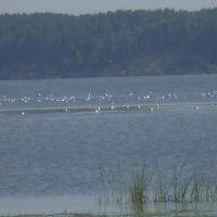 Чайки в Старомайнском заливе, Старая Майна