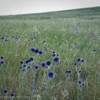 Цветы в степи 2010.Flowers in steppe 2010., Деркул