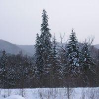 Сихотэ-Алиньские ели. Зима., Высокогорный
