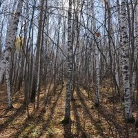 Obluchye (2012-10) - Birchwood forest, Облучье