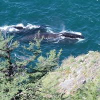 Киты в проливе Лингольма/Whales in Lingolm strait, Тугур