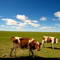 Cows and blue sky, Калга