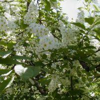 Цветет черемуха, Кыра