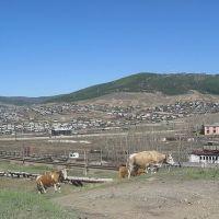 Коровы, Петровск-Забайкальский