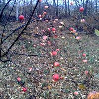 Яблоня в саду, Батырева
