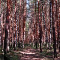 Дорога в сосновом лесу, Шемурша