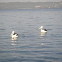 Pelicans at Princess Royal Harbour, Олбани