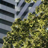 White fig - Ficus Virens, Брисбен