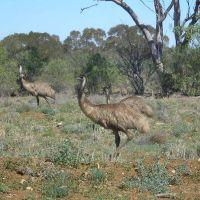 Emus near Aramac, Бундаберг
