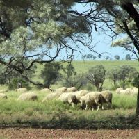 Outback Merino Sheep, Бундаберг