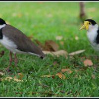Plovers in Marina Park Gladstone, Гладстон